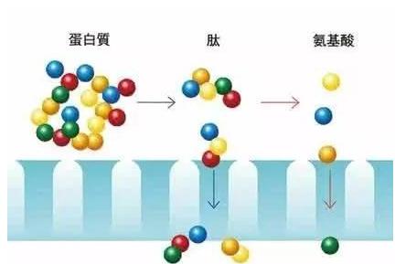 胶原蛋白肽有什么优势.png