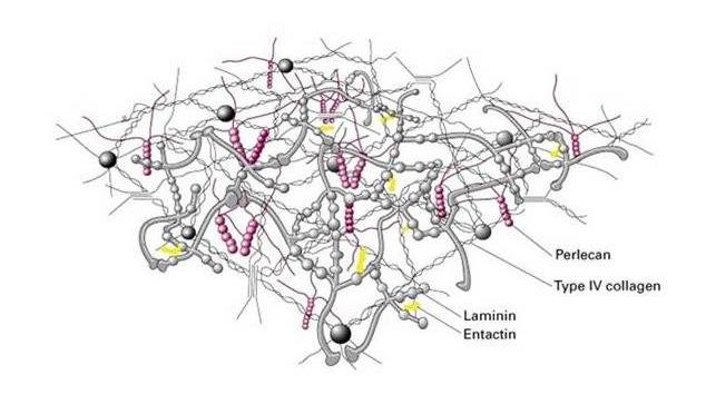 胶原蛋白对皮肤的修复作用.png
