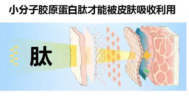 胶原蛋白肽修复骨骼再生骨骼细胞